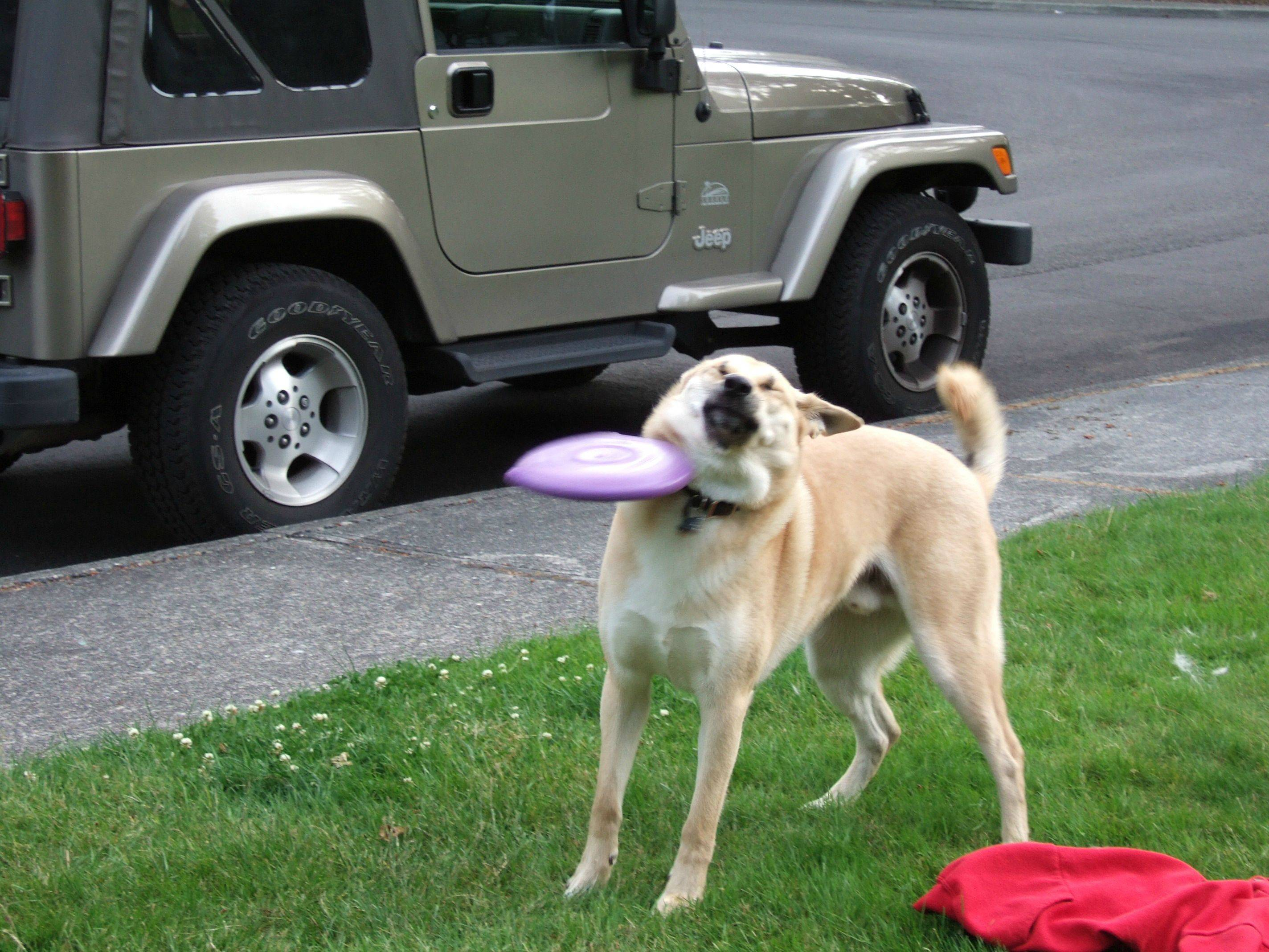 Incredibly Talented Dog Imitates A Cat Playing Frisbee (Video)
