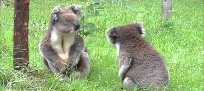 What Do Arguing Koalas Sound Like, You Ask?
