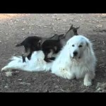Baby Goats Play With Lazy Dog (Video)