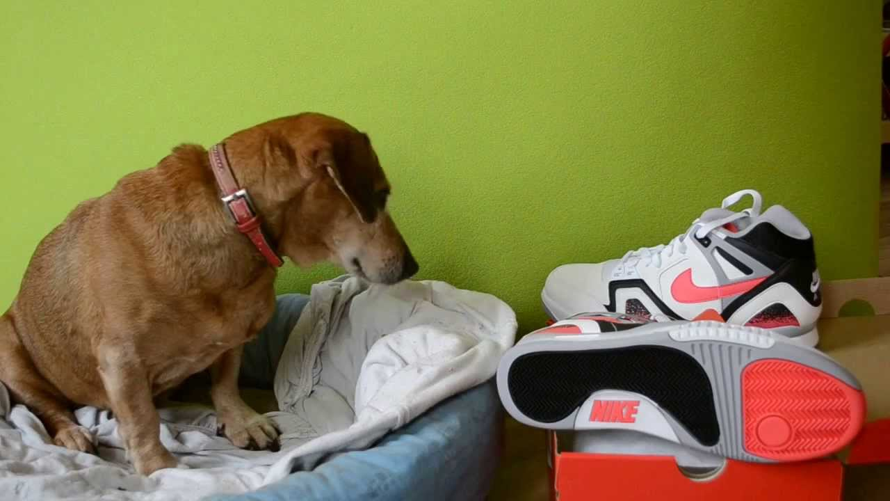 Dachshund Not Impressed By Unboxing Of Brand New NIKE AIR TECH CHALLENGE II HOT LAVA QUICKSTRIKE