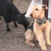 Goat Licks Dog – Dog Is Not Bothered (Video)