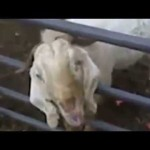 Goats Screaming Along To The Theme Song Of Game Of Thrones (Video)