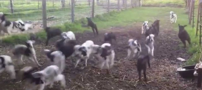 Happy Bouncy Baby Lambs Bounce Happily