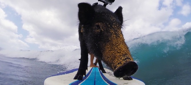 Surfing Pig, Surfing Pig Does Whatever A Surfing Pig Does!